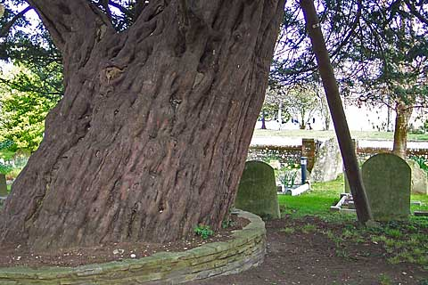 Yew Tree - Bedhampton Parish